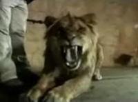 雑誌撮影中、女性がライオンに襲われるハプニング