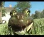 面白い泣き声のカエルさん