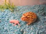 子ネズミを食べるベルツノガエル