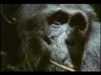 チンパンジーの本性 サルを集団で狩猟して食べるムービー