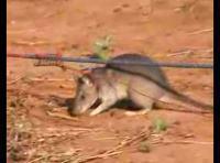 巨大ネズミを地雷探知ネズミにする訓練のムービー