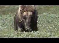 草原でのんびり草を食べるヤギを撮影してたら突然襲ってきた
